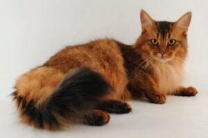 gato somali pelo corto