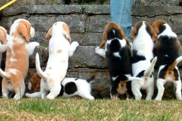 variedades perro beagle