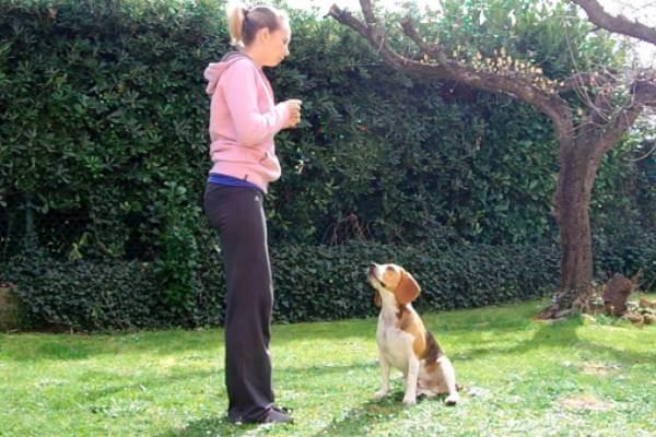 consejos educación beagle