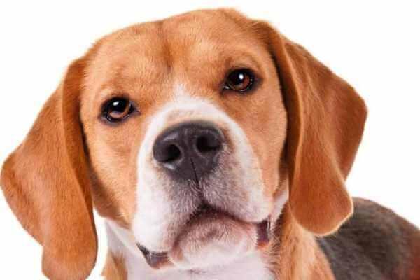 peso del perro beagle
