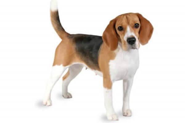 descripción raza de perro beagle