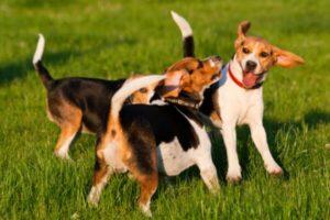 cuál es el comportamiento del perro Beagle
