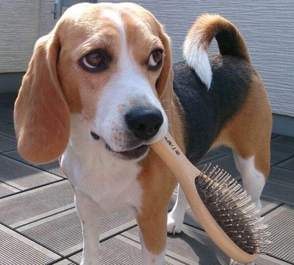 cómo cuidar a un beagle