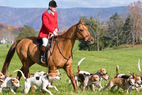 historia de la raza de perro beagle