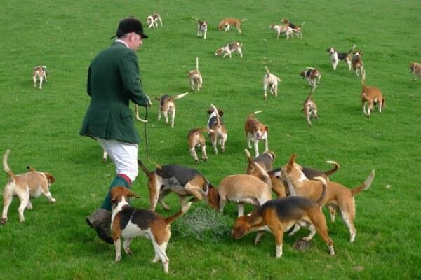 raza de perro beagle origen