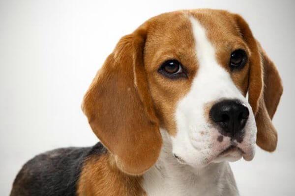 información raza de perro beagle