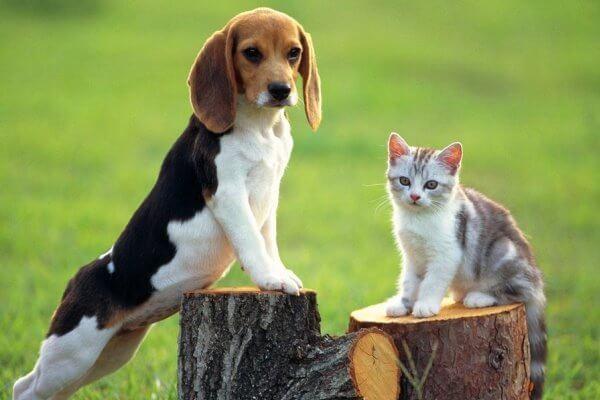qué temperamento muestra el beagle