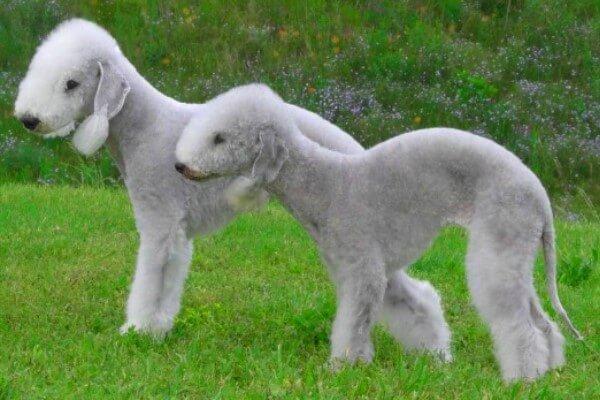 bedlington terrier morfología