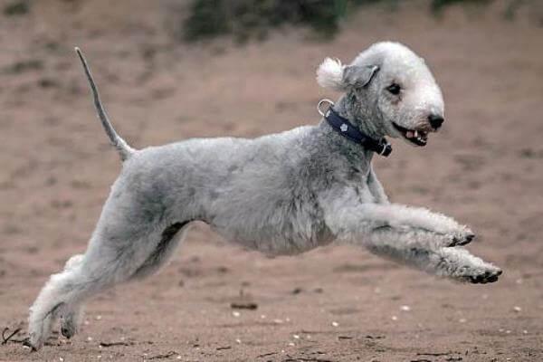 cómo es el carácter del perro bedlington terrier