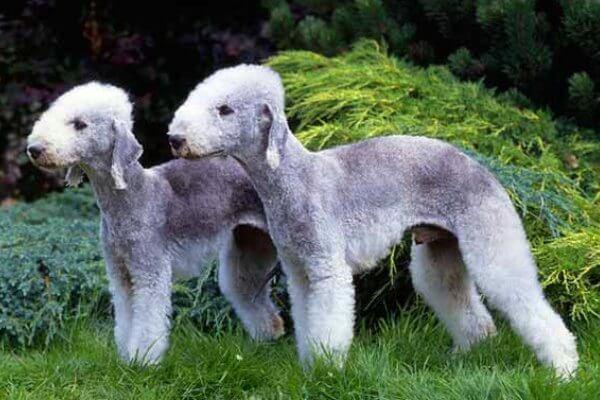 bedlington terrier descripción de la raza