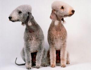 variedades bedlington terrier