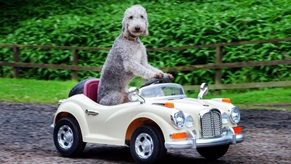 cuál es el comportamiento del bedlington terrier