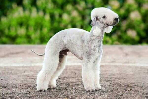 cómo educar bedlington terrier