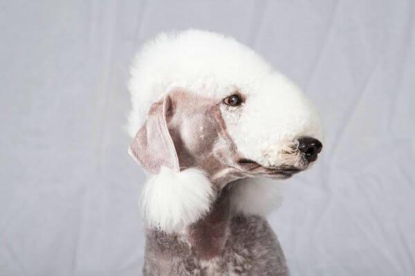 enfermedades de la raza bedlington terrier