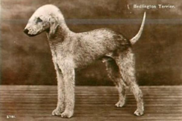 origen e historia perro bedlington terrier