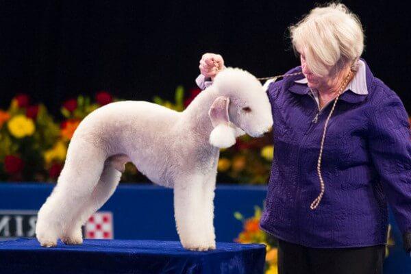 cómo cortar el pelo bedlington terrier