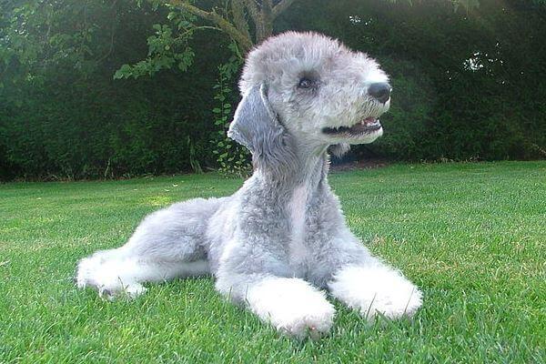 Bedlington Terrier origen