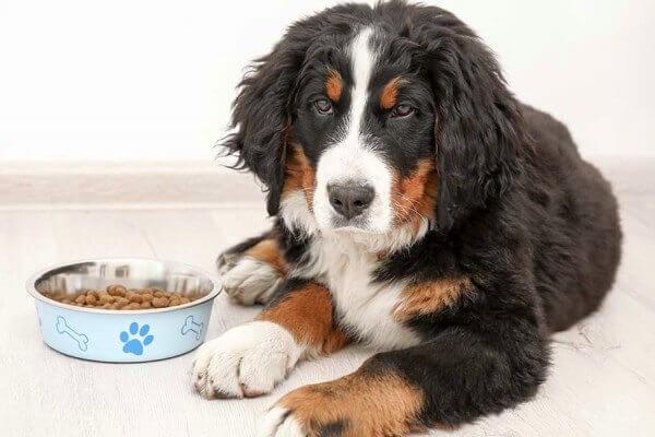 cómo alimentar a un perro boyero de Berna