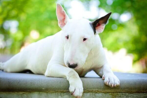 cuál es el comportamiento bull terrier miniatura
