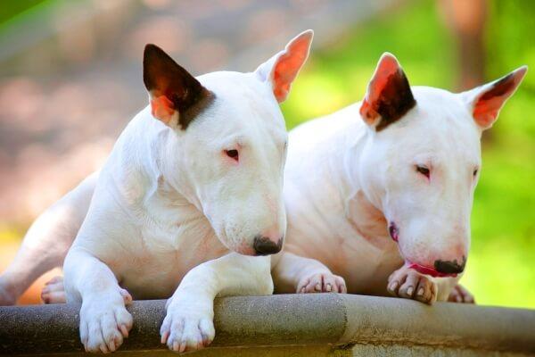 morfología bull terrier