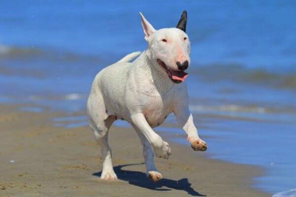 qué carácter tiene el bull terrier