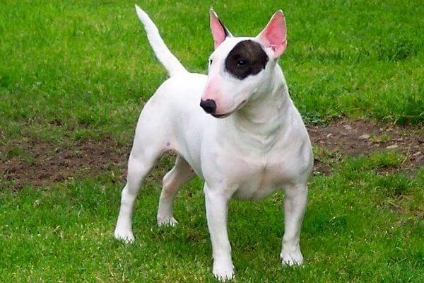 cuáles son las propiedades del bull terrier