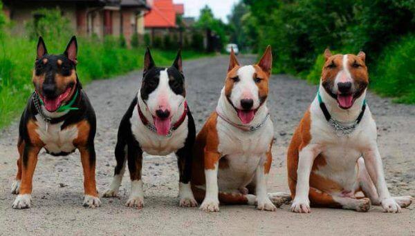 bull terrier color