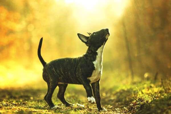 el bull terrier es un perro bueno