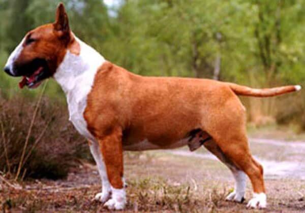 criador raza de perro bull terrier