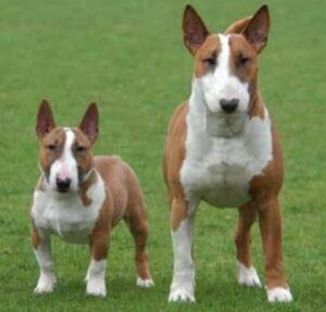 Bull terrier miniatura y bull terrier estándar