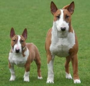 variedades bull terrier