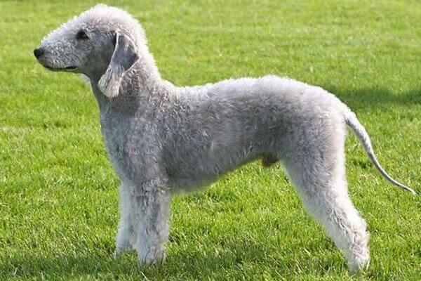bedlington terrier carácter y características