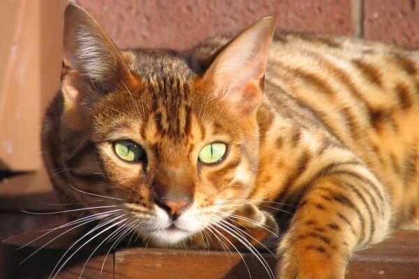 anatomía gato bengalí
