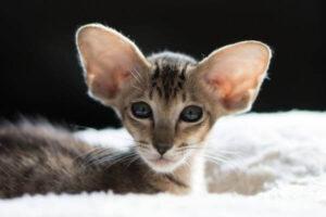 aspecto gato oriental pelo corto