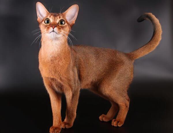 gato abisinio descripción