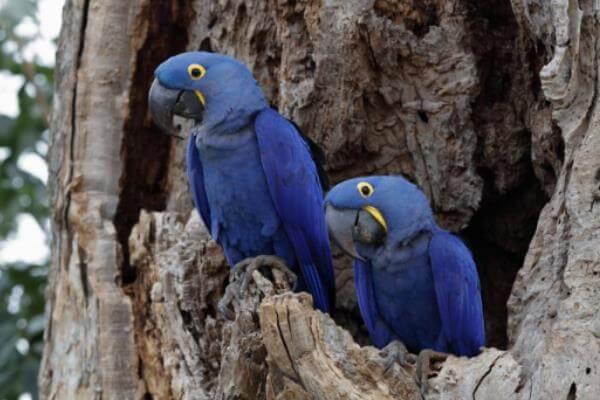 cría guacamayo azul