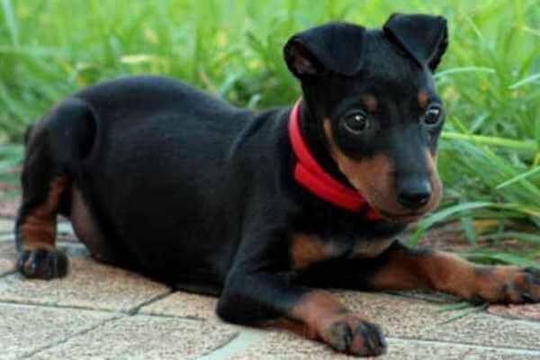 cachorro manchester terrier criadero
