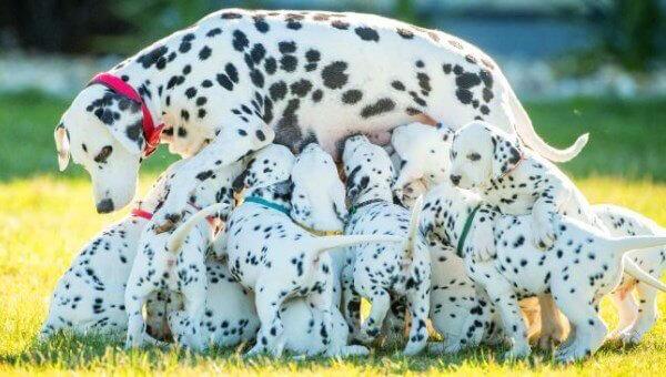 cachorro dálmata adopción