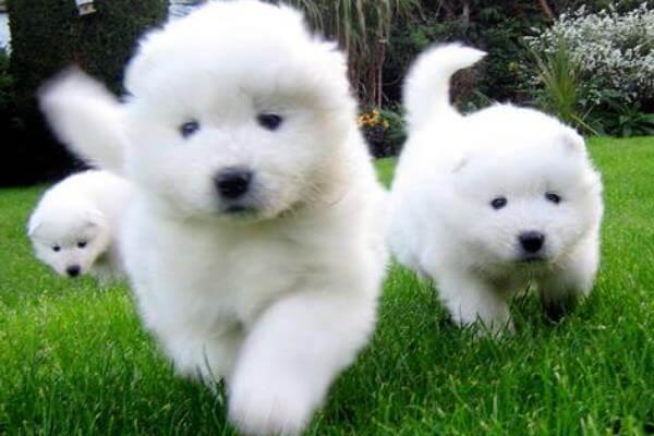 cachorros de samoyedo compra