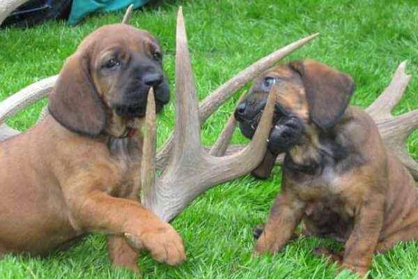 cachorros sabueso hannover precio