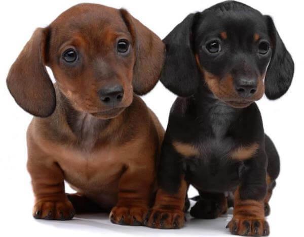 cachorros teckel compra