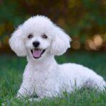 Origen raza caniche o poodle