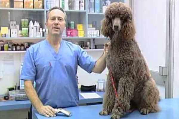 enfermedades del caniche