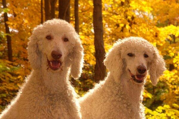 origen raza de perro poodle