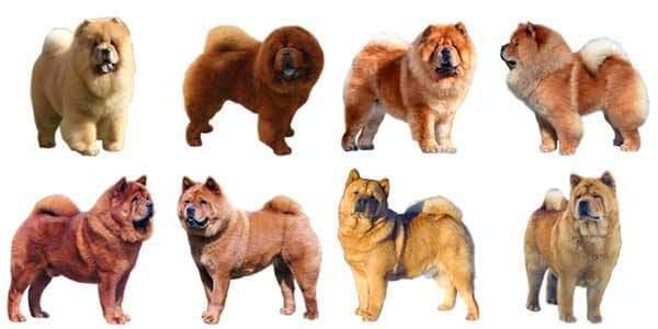 variedades perro chow chow