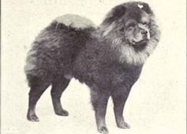 chow chow historia