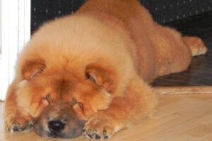 qué personalidad tiene la raza de perro chow chow