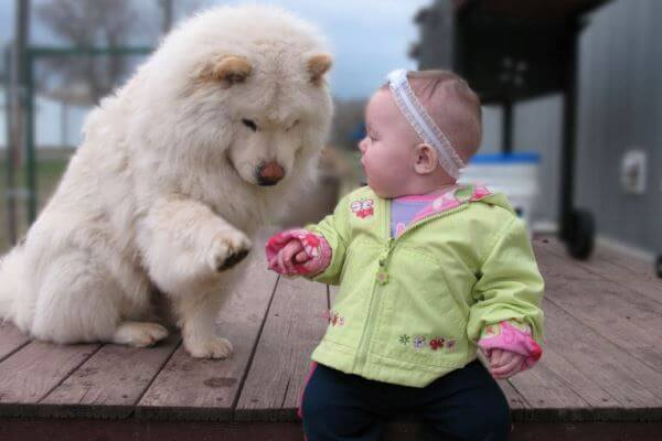 qué temperamento tiene el perro chow chow