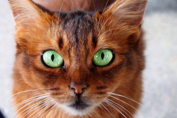 color ojos gato somalí