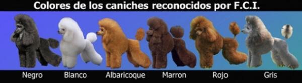 colores de la raza de perro caniche